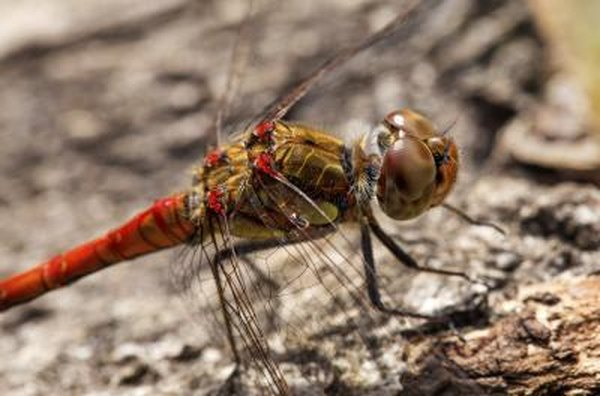 Dragonflies only live two to four months before dying.