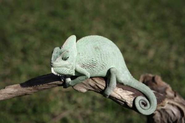 Closeup of a chameleon.