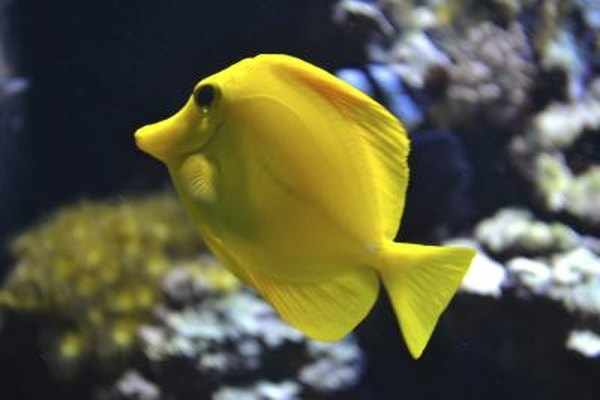 A yello tang fish swims near a coral reef.