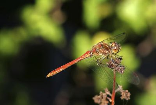 Dragonfly nymphs are aquatic.