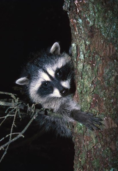 How to Make a Snare Trap for a Raccoon