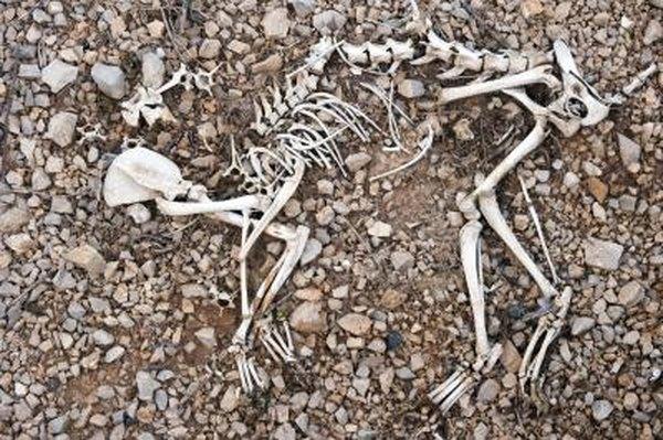 Animal bones.
