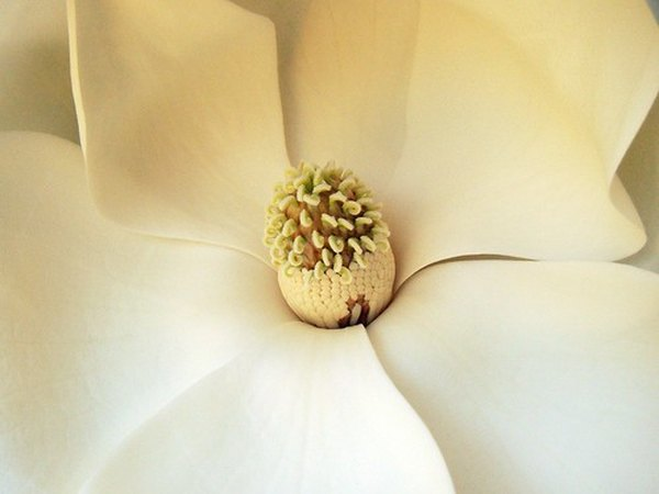 Meaning Of A Magnolia Flower Garden Guides