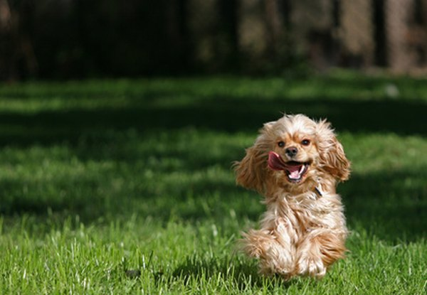 Cocker spaniels make happy, enthusiastic companion dogs.