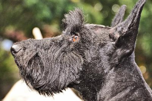 Bushy eyebrows and beard are noticeable features of the Scottish terrier's coat.