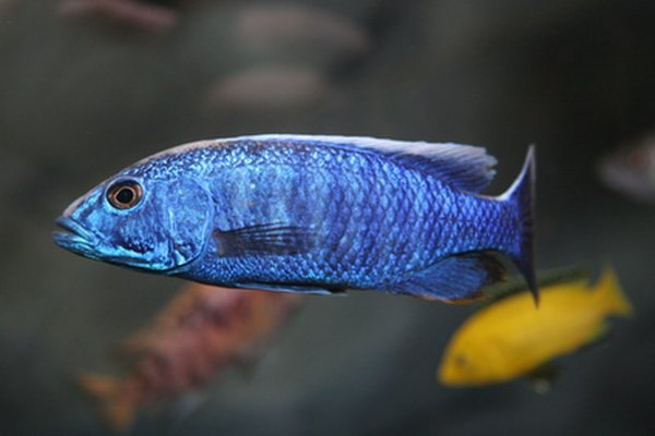 Why Do Cichlids Move Around The Rocks In A Fish Tank Pets
