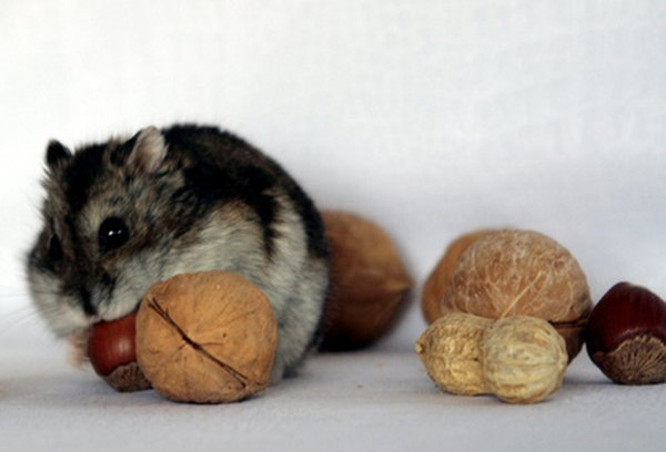 How Does a Hamster Protect Itself?   Animals - mom me