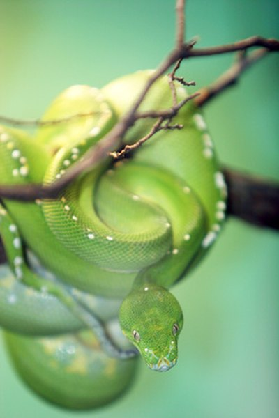 A coiled green snake blends into rain forest colors.