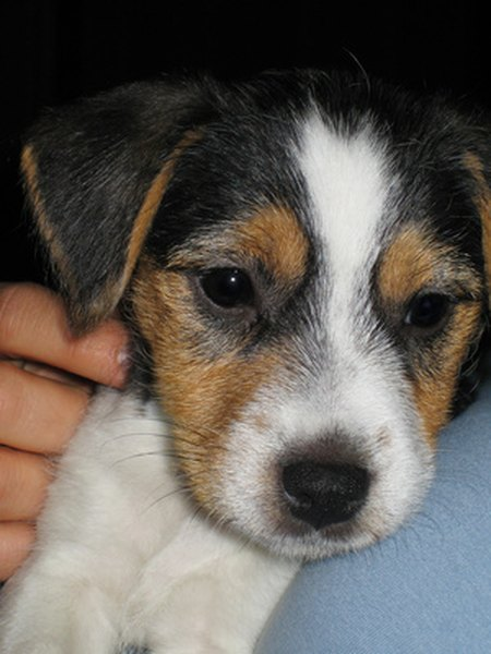 Toy Rat Terrier Information Pets