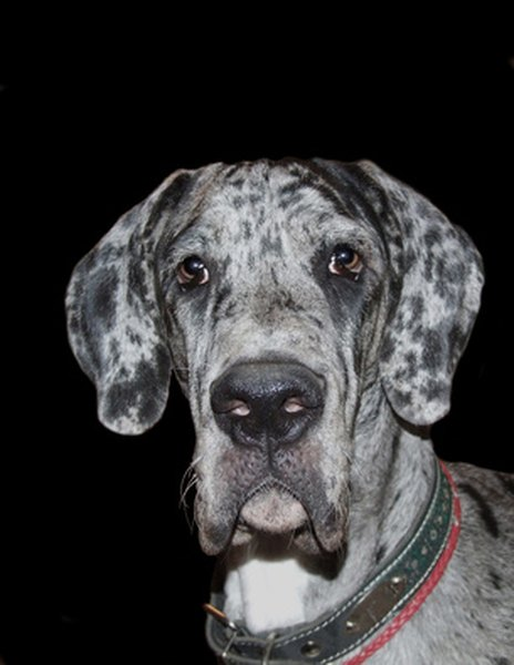 The Coat Types Of Great Danes Pets