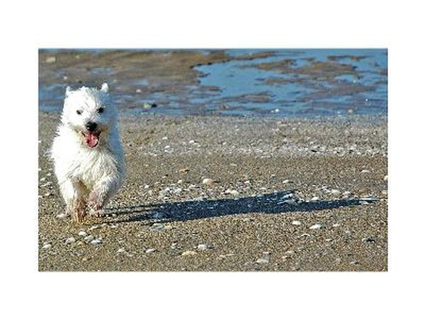 Westies are active dogs that need daily exercise.