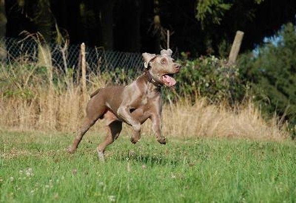How To Prevent Bloat In A Weimaraner Pets