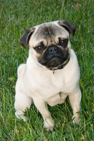 The characteristic short face of a pug leads to some serious respiratory drawbacks.