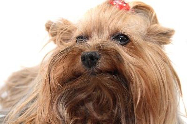 The Best Way To Give A Yorkie A Bath Pets
