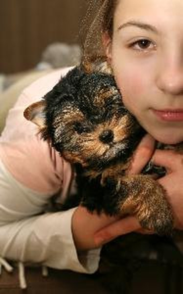About Teacup Yorkies Pets
