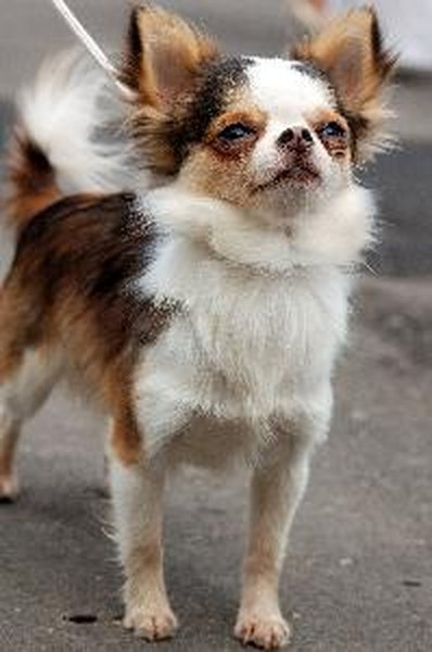 Types Of Chihuahua Mixes Pets