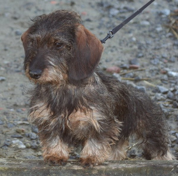This Wirehaired Dachshund Needs Grooming To Shorten The Fur About One Half Inch