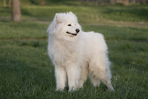 A samoyed requires regular grooming.