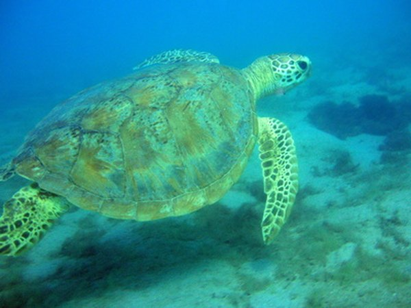Sea turtles eat sea grass.