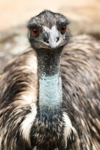 Emus are the one of the tallest birds on earth.