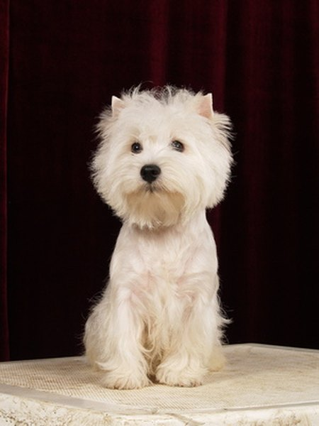 West Highland white terriers are prone to Addison's disease and copper storage disease, both of which have weight loss as a symptom.