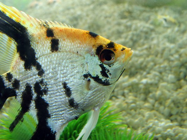 What types of cichlids can live with angelfish pets for Fish compatible with angelfish