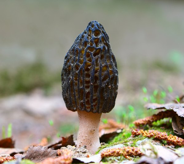 Morel mushrooms are prized for their flavor and are first to appear in springtime.