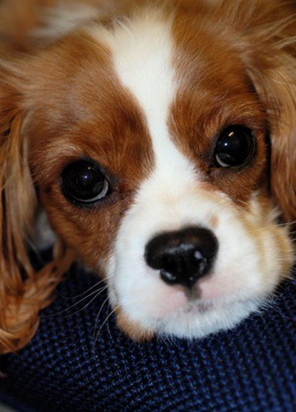 The even temperment of the Cavalier King Charles spaniel makes it a good choice for therapy dog training.