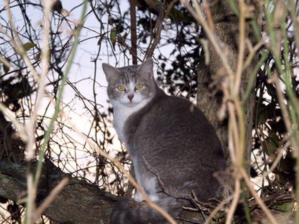 Bobcats may prey on their domesticated relatives, so keep your house cats indoors as much as possible.