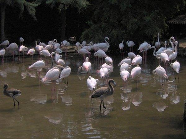 Flamingos prefer shallow water.