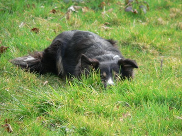 A working-bred dog with no work to do may learn to enjoy lying in wait to ambush a passing car.