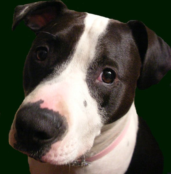 Though pit bulls are often perceived as aggressive, they can make wonderful pets.