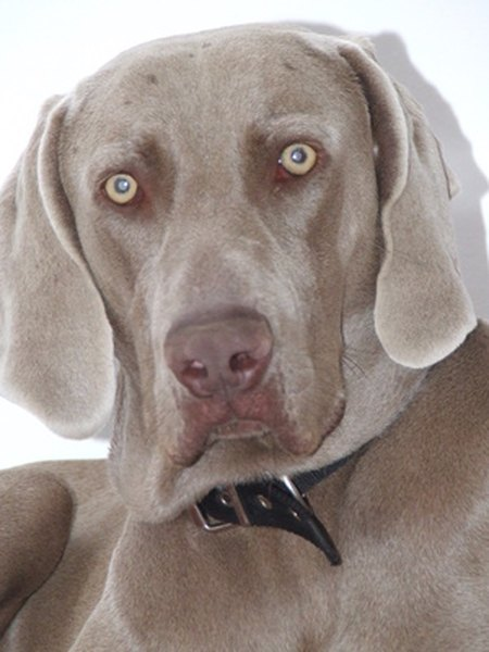 A Weimaraner's long, floppy ears need regular cleaning.