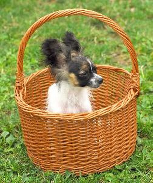 A papillon will shed his puppy coat out before getting his adult coat.