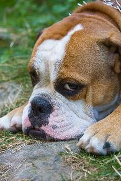 How to Teach Tricks to an English Bulldog - Pets Sad Bulldog Face