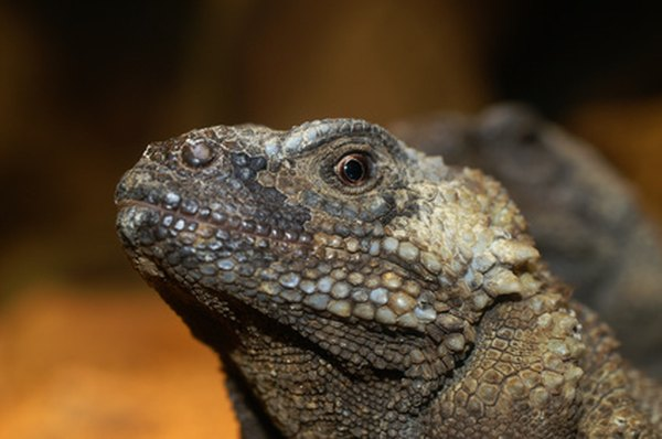 The chuckwalla is the second largest American lizard species.