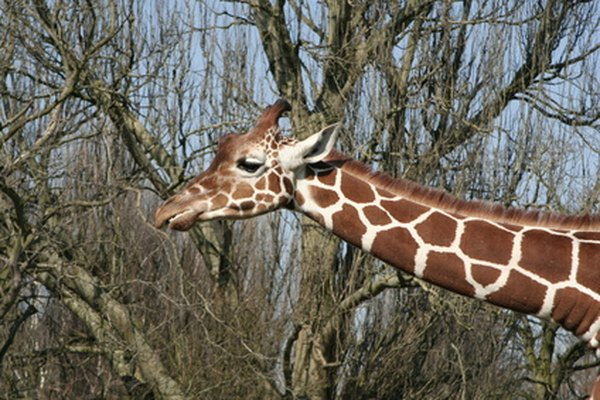 Giraffes can be found munching on leaves as part of their herbivore diet.