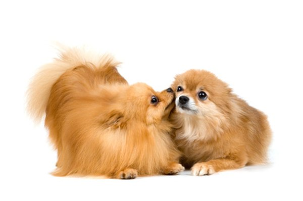 Grooming your Pomeranian regularly will keep snarls at bay.