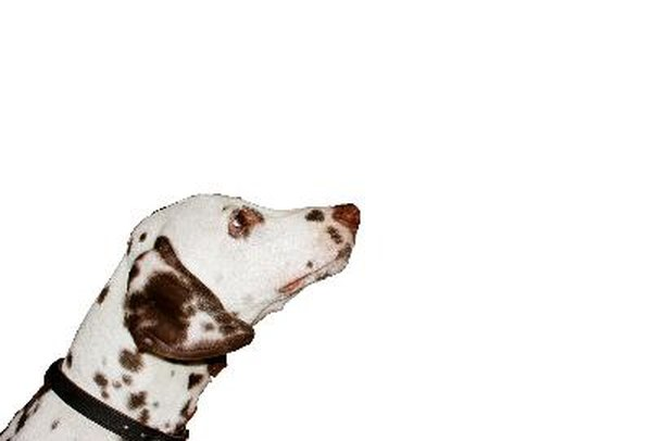 what color are dalmatians when they are first born pets