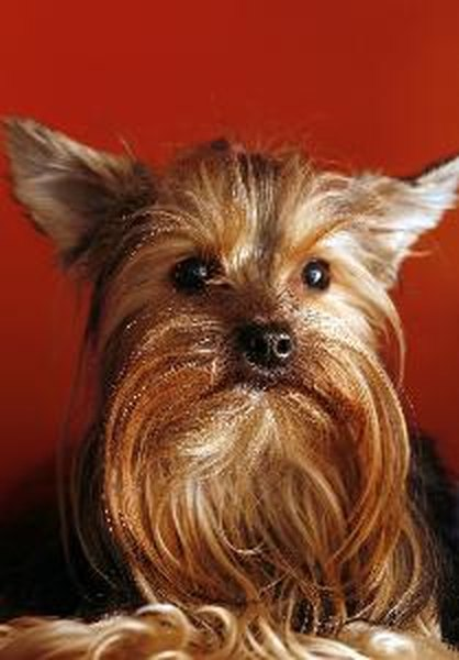 The silky terrier is often mistaken with the Yorkshire terrier, but is larger.