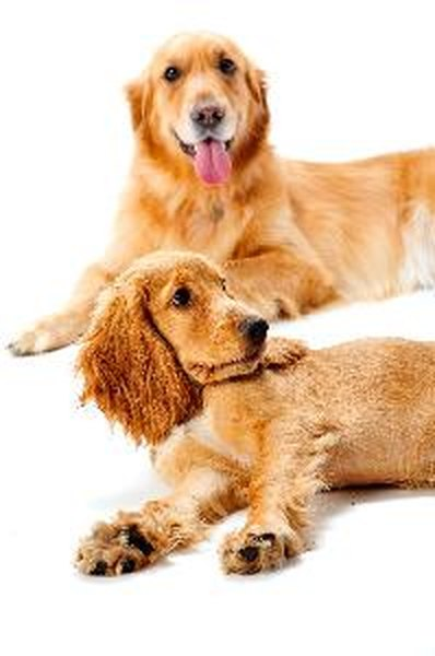 Dogs, like humans and other animals, constantly shed microscopic dead skin particles called dander into the environment.