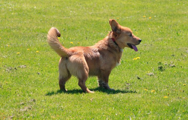 Pembroke Welsh corgis traditionally have a bobbed or docked tail, but in some European countries tail docking is no longer allowed.
