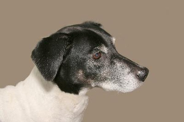Elderly dogs are susceptible to conditions such as a collapsed trachea.