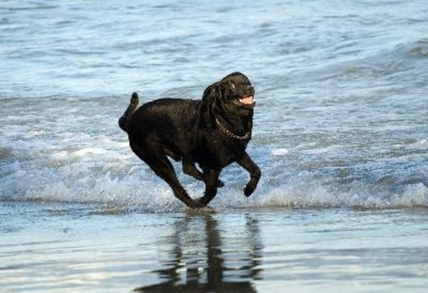 A normal high-energy dog needs exercise, work and play appropriate to his activity level.