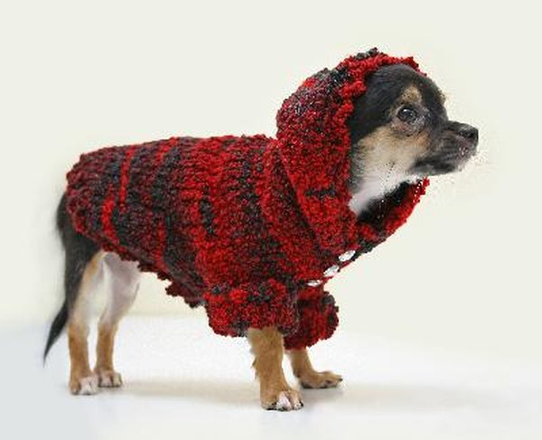 With little body mass or coat to hold heat, Chihuahuas need help staying warm.