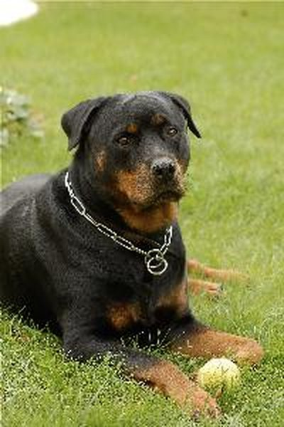 The rottweiler is a large, powerful dog.