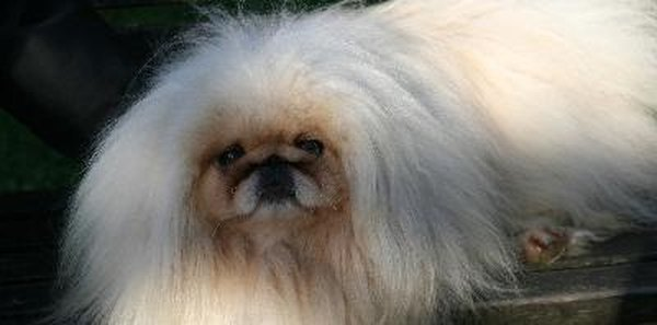The Pekingese requires daily grooming due to his thick coat.