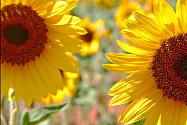 Sunflower oil is an ingredient in diesel fuel.