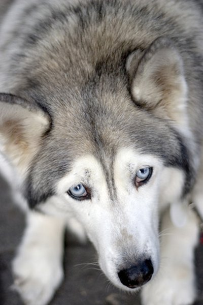 Do Blue Eyed Siberian Huskies Get Cataracts More Than Brown Eyed Pets
