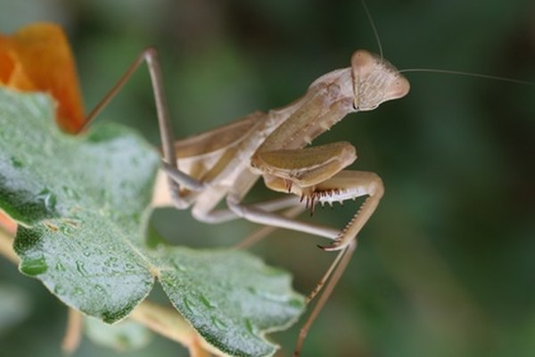 Praying mantises are either green or brown.